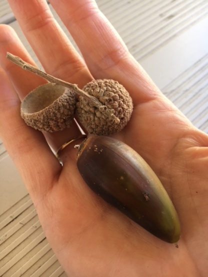 Giant Acorn from a Napa Valley Oak