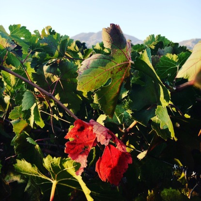 Grape leaves turning